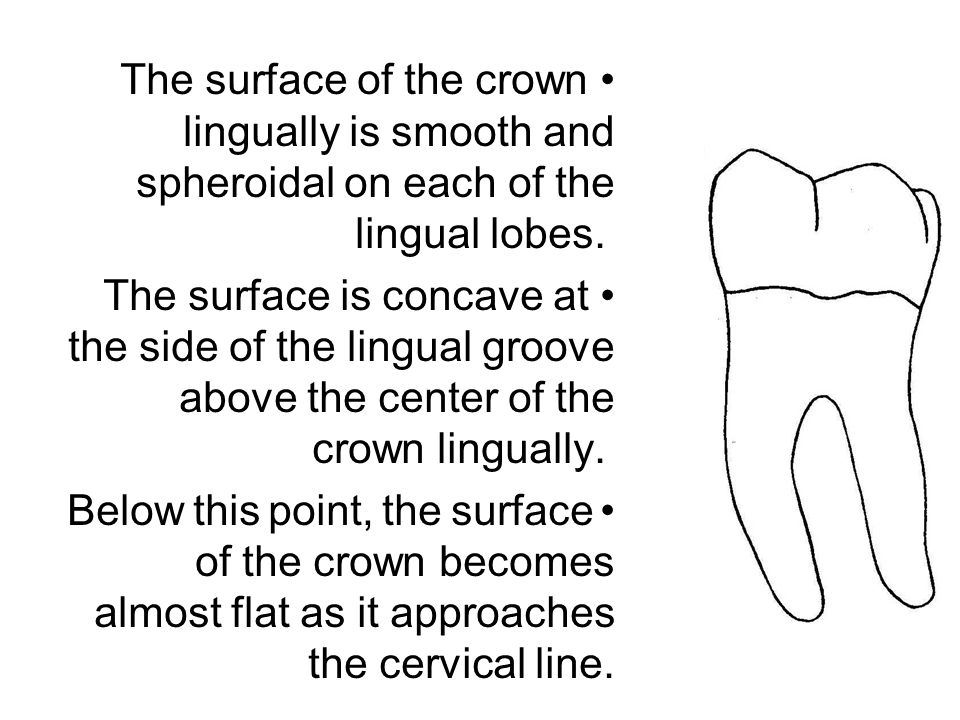The surface of the crown lingually is smooth and spheroidal on each of the lingual lobes. The surface is concave at the side of the lingual groove abo