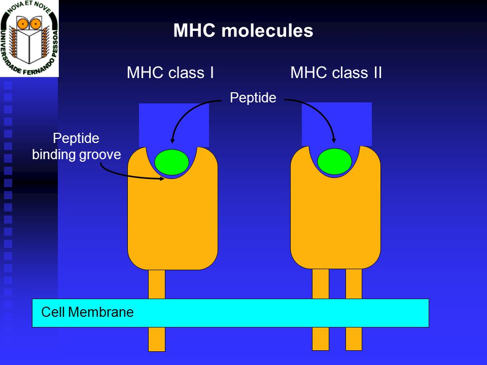 Cell Membrane Peptide MHC class IMHC class II MHC molecules Peptide binding groove