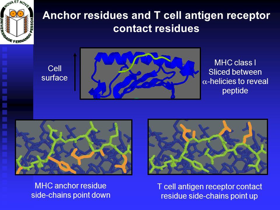 Anchor residues and T cell antigen receptor contact residues Cell surface MHC class I Sliced between  -helicies to reveal peptide T cell antigen receptor contact residue side-chains point up MHC anchor residue side-chains point down