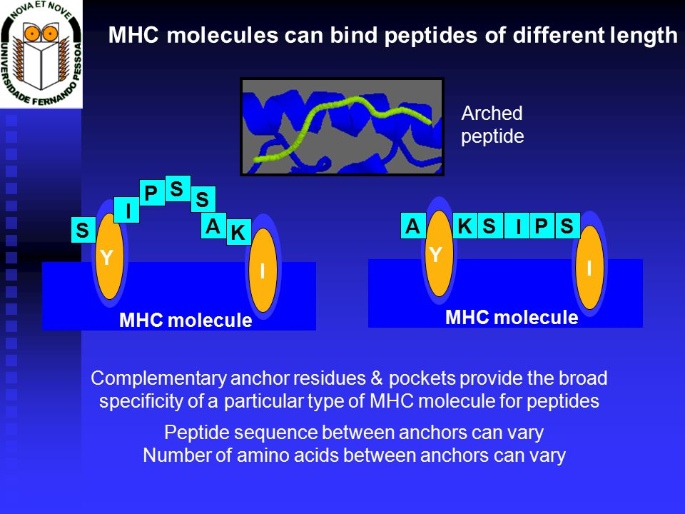 Y I MHC molecule Y I Complementary anchor residues & pockets provide the broad specificity of a particular type of MHC molecule for peptides MHC molecules can bind peptides of different length P S A S I K S PSA I KS Peptide sequence between anchors can vary Number of amino acids between anchors can vary Arched peptide