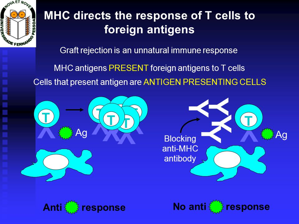 Y T MHC directs the response of T cells to foreign antigens Graft rejection is an unnatural immune response Y T Ag Y T Anti response No anti response MHC antigens PRESENT foreign antigens to T cells Cells that present antigen are ANTIGEN PRESENTING CELLS Y T Y T Y T Y T Y Blocking anti-MHC antibody Y Y Y