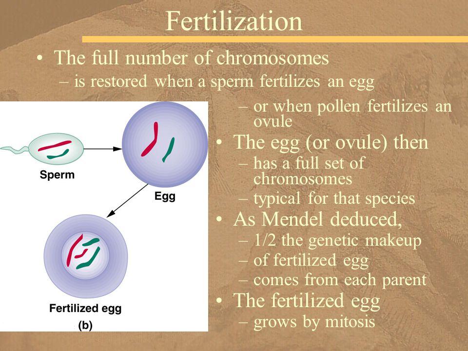 The full number of chromosomes –is restored when a sperm fertilizes an egg Fertilization –or when pollen fertilizes an ovule The egg (or ovule) then –