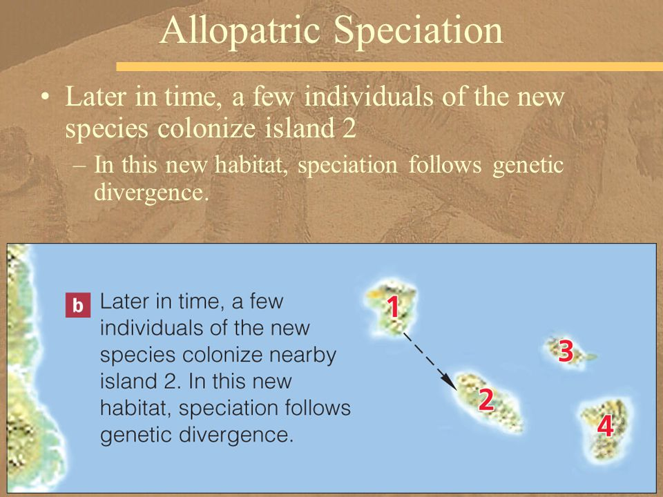 Later in time, a few individuals of the new species colonize island 2 –In this new habitat, speciation follows genetic divergence. Allopatric Speciati