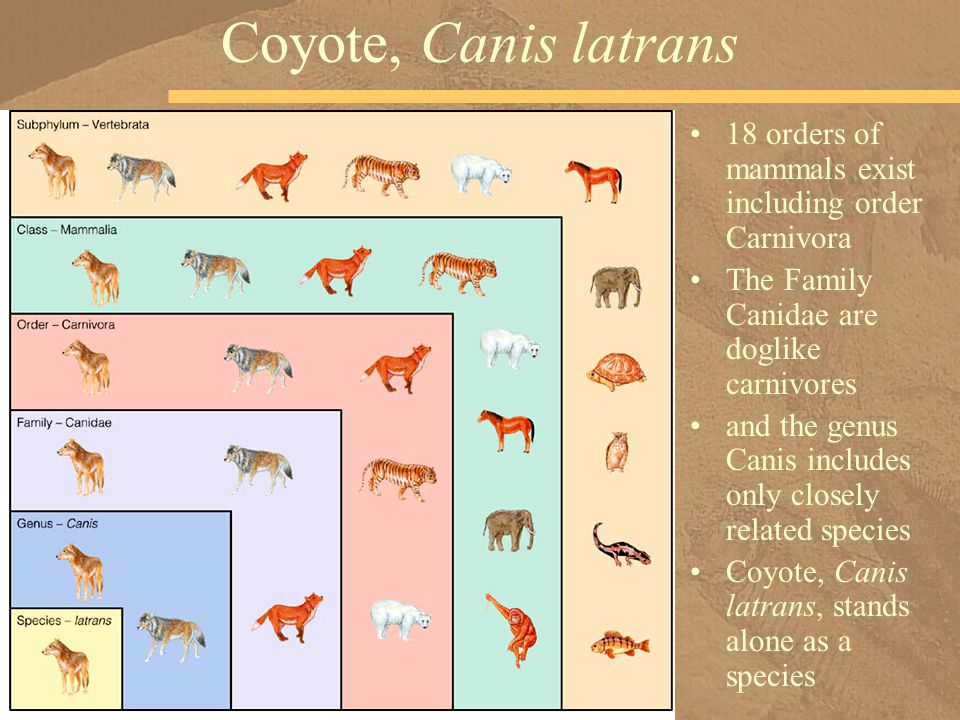 18 orders of mammals exist including order Carnivora The Family Canidae are doglike carnivores and the genus Canis includes only closely related speci