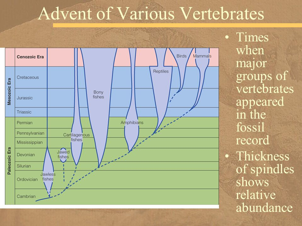Times when major groups of vertebrates appeared in the fossil record Thickness of spindles shows relative abundance Advent of Various Vertebrates