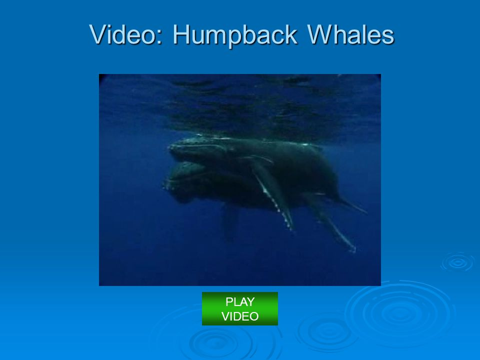 Video: Humpback Whales PLAY VIDEO