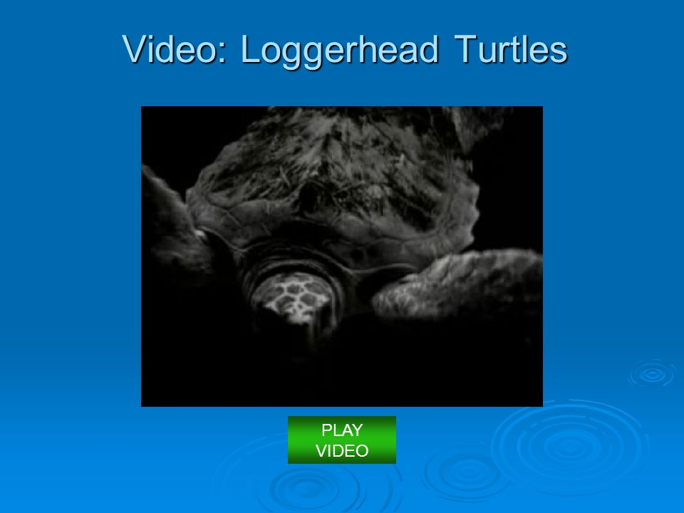 Video: Loggerhead Turtles PLAY VIDEO