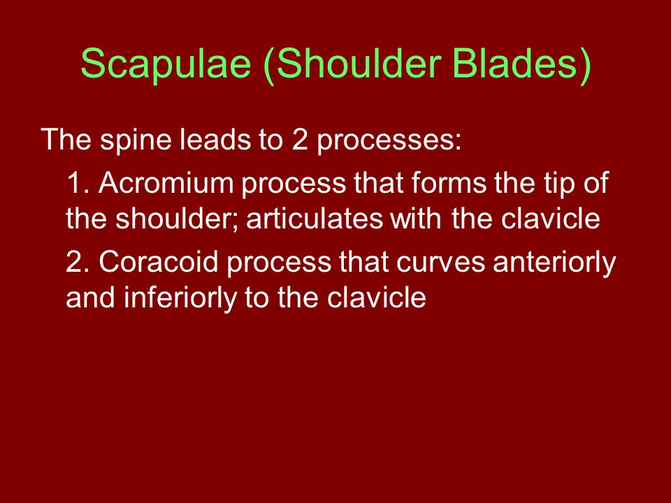 Scapulae (Shoulder Blades) The spine leads to 2 processes: 1.