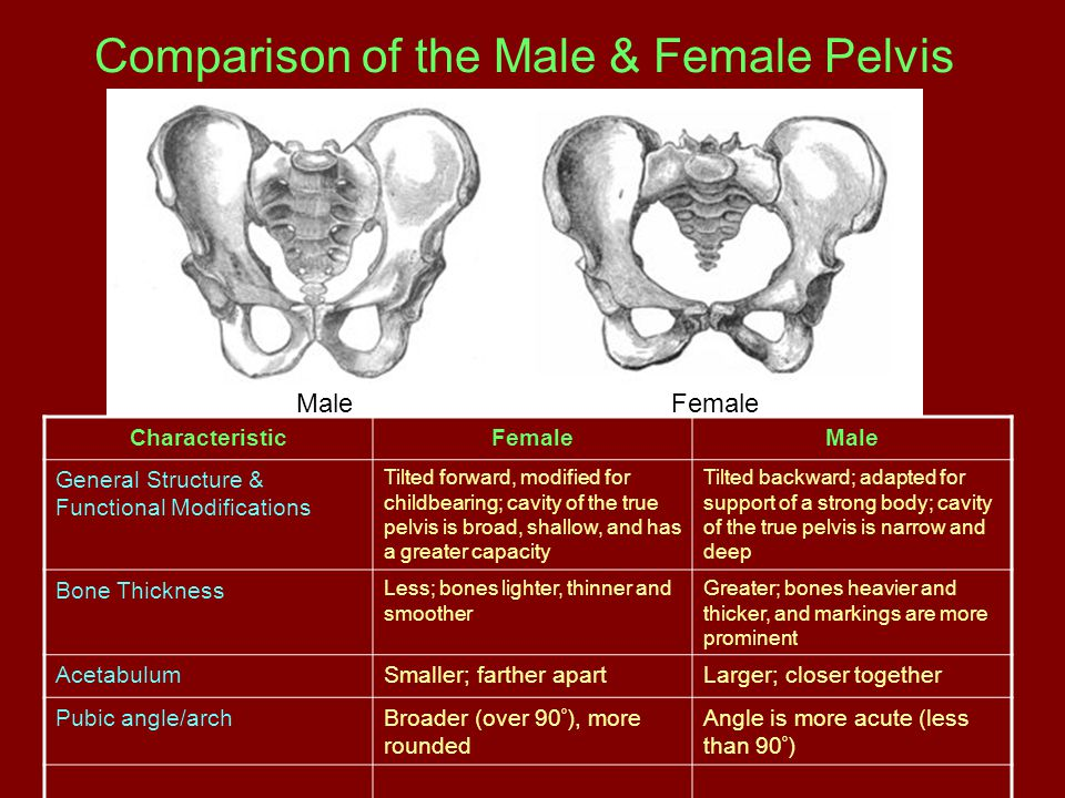 Comparison of the Male & Female Pelvis MaleFemale CharacteristicFemaleMale General Structure & Functional Modifications Tilted forward, modified for c