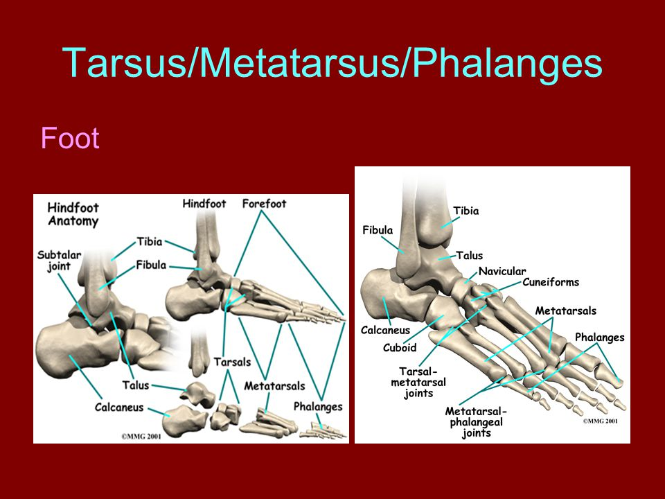 Tarsus/Metatarsus/Phalanges Foot