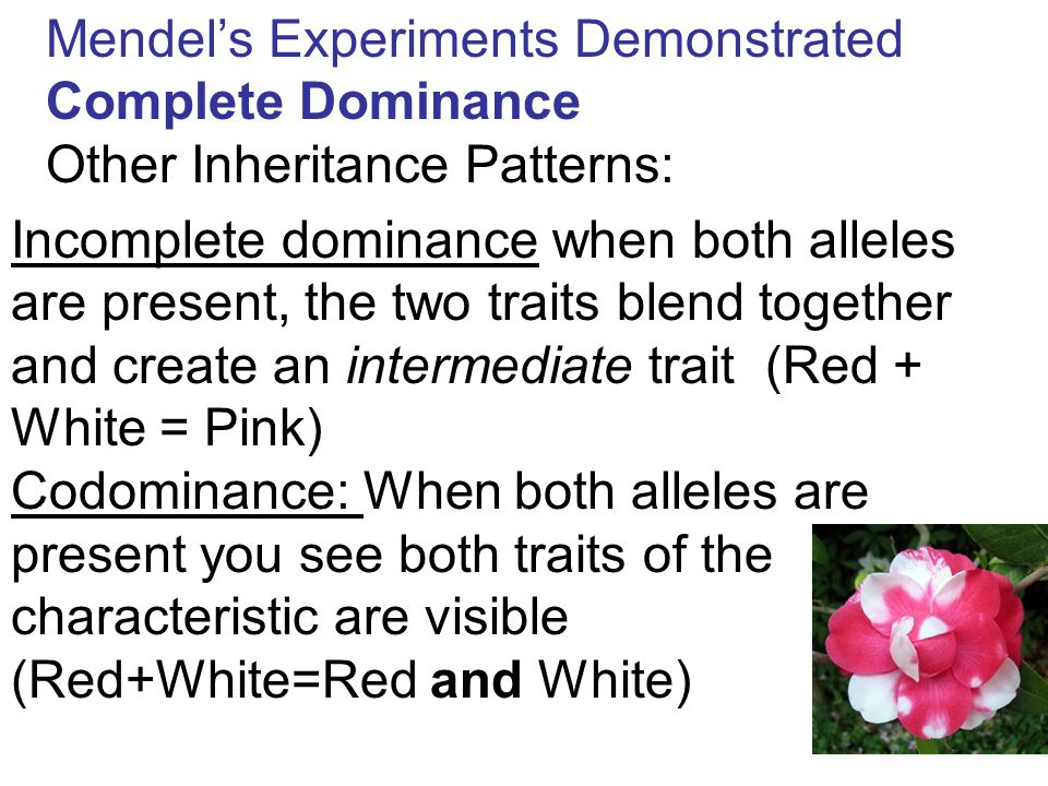 Mendel's Experiments Demonstrated Complete Dominance Other Inheritance Patterns: Incomplete dominance when both alleles are present, the two traits bl