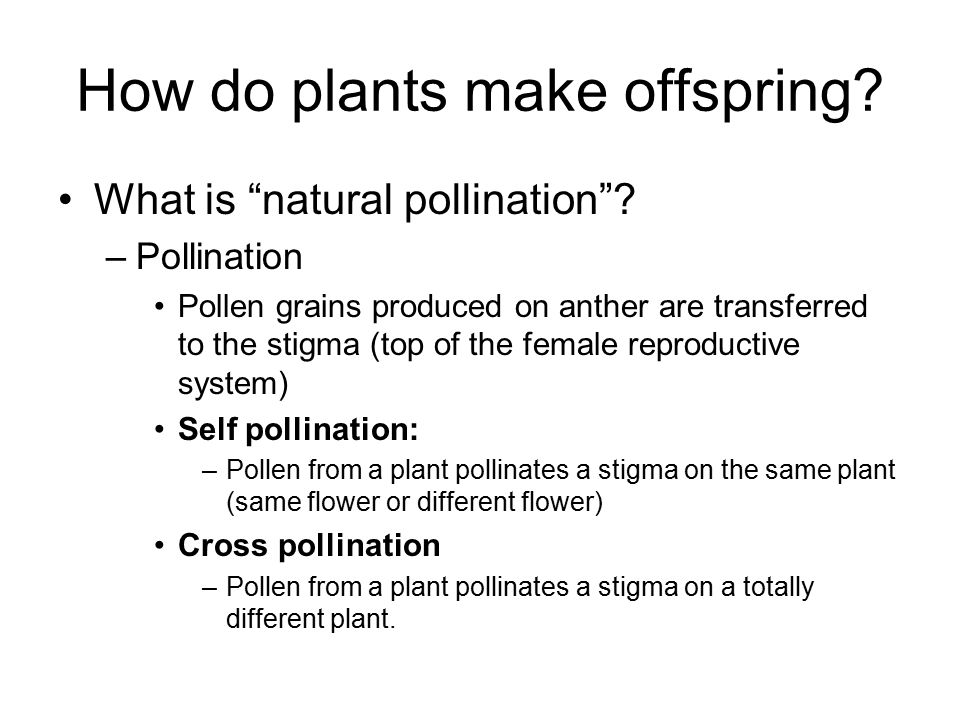 "How do plants make offspring? What is ""natural pollination""? –Pollination Pollen grains produced on anther are transferred to the stigma (top of the f"