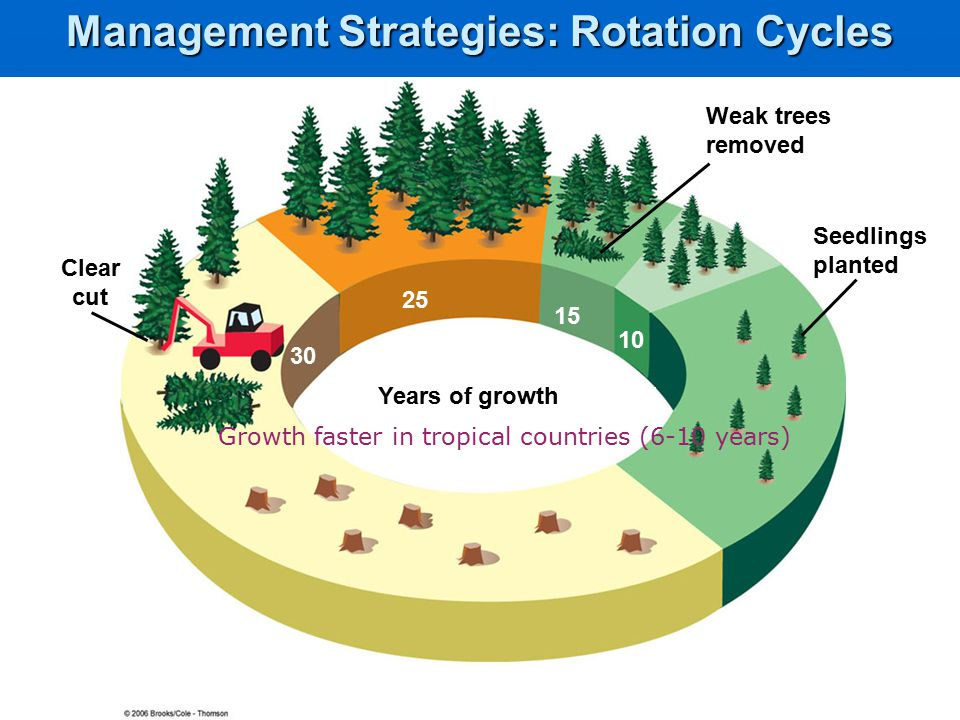 Years of growth 30 25 15 10 5 Clear cut Weak trees removed Seedlings planted Management Strategies: Rotation Cycles Growth faster in tropical countries (6-10 years)