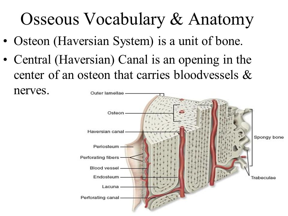 Osseous Vocabulary & Anatomy Osteon (Haversian System) is a unit of bone. Central (Haversian) Canal is an opening in the center of an osteon that carr