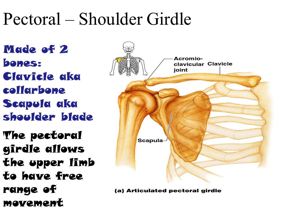 Pectoral – Shoulder Girdle Made of 2 bones: Clavicle aka collarbone Scapula aka shoulder blade The pectoral girdle allows the upper limb to have free