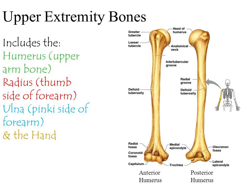 Upper Extremity Bones Includes the: Humerus (upper arm bone) Radius (thumb side of forearm) Ulna (pinki side of forearm) & the Hand Anterior Humerus P