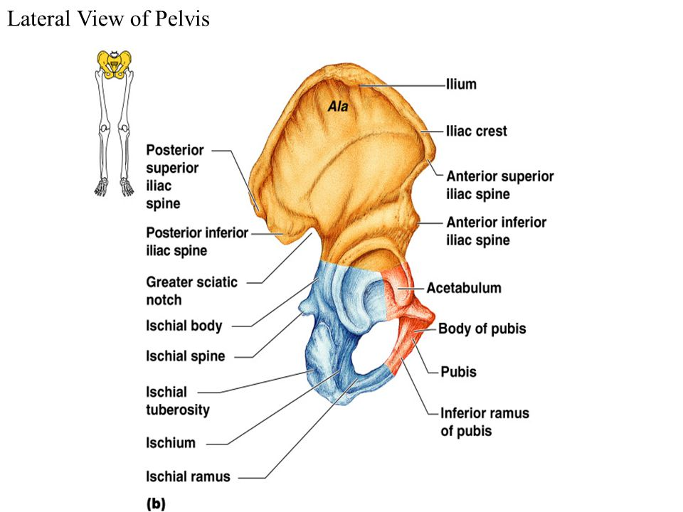 Lateral View of Pelvis