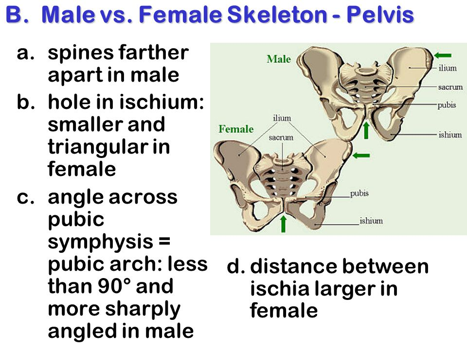 B. Male vs. Female Skeleton - Pelvis a.spines farther apart in male b.hole in ischium: smaller and triangular in female c.angle across pubic symphysis