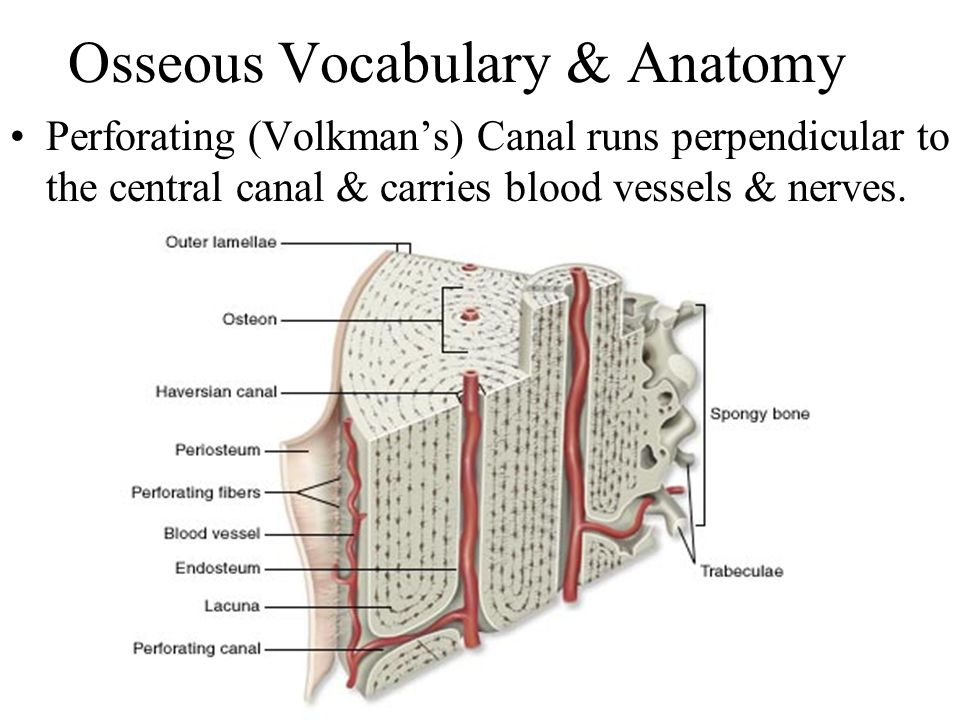 Osseous Vocabulary & Anatomy Perforating (Volkman's) Canal runs perpendicular to the central canal & carries blood vessels & nerves.