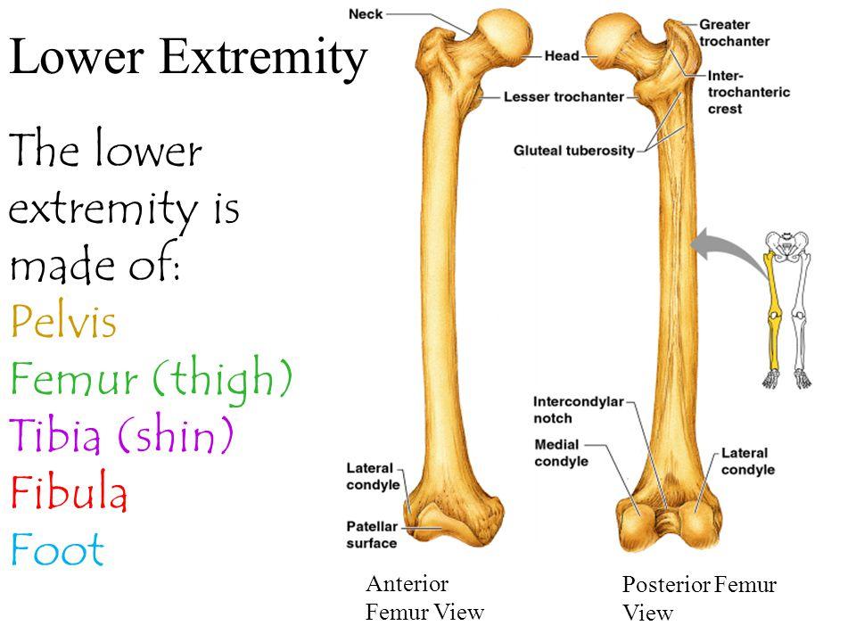 Lower Extremity Anterior Femur View Posterior Femur View The lower extremity is made of: Pelvis Femur (thigh) Tibia (shin) Fibula Foot