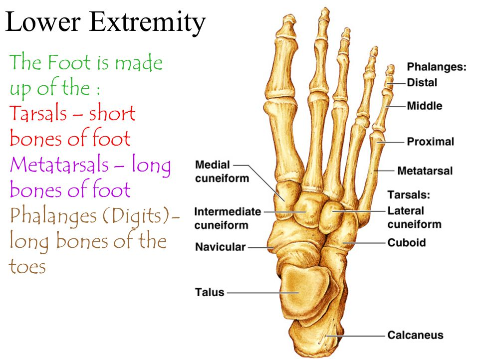 Lower Extremity The Foot is made up of the : Tarsals – short bones of foot Metatarsals – long bones of foot Phalanges (Digits)- long bones of the toes