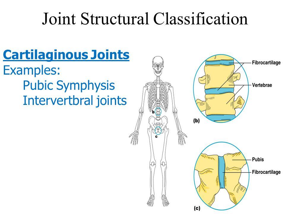 Joint Structural Classification Cartilaginous Joints Examples: Pubic Symphysis Intervertbral joints