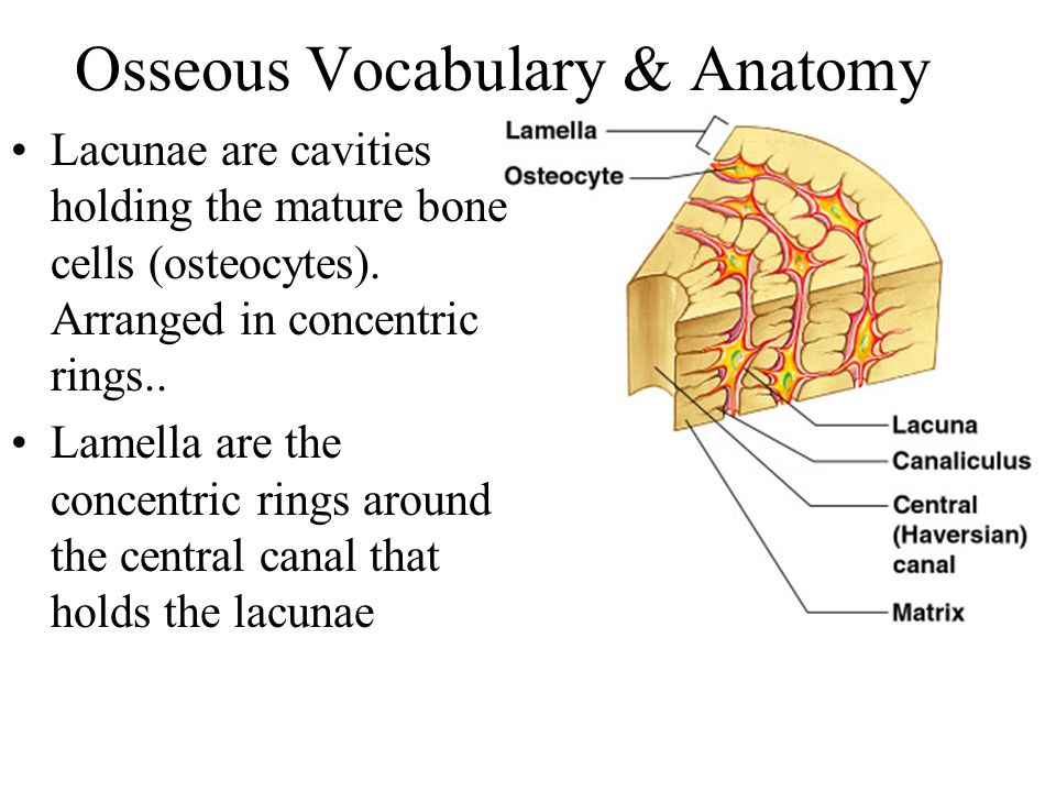 Osseous Vocabulary & Anatomy Lacunae are cavities holding the mature bone cells (osteocytes). Arranged in concentric rings.. Lamella are the concentri