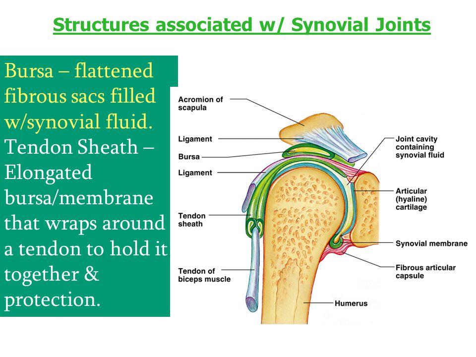 Structures associated w/ Synovial Joints Bursa – flattened fibrous sacs filled w/synovial fluid. Tendon Sheath – Elongated bursa/membrane that wraps a