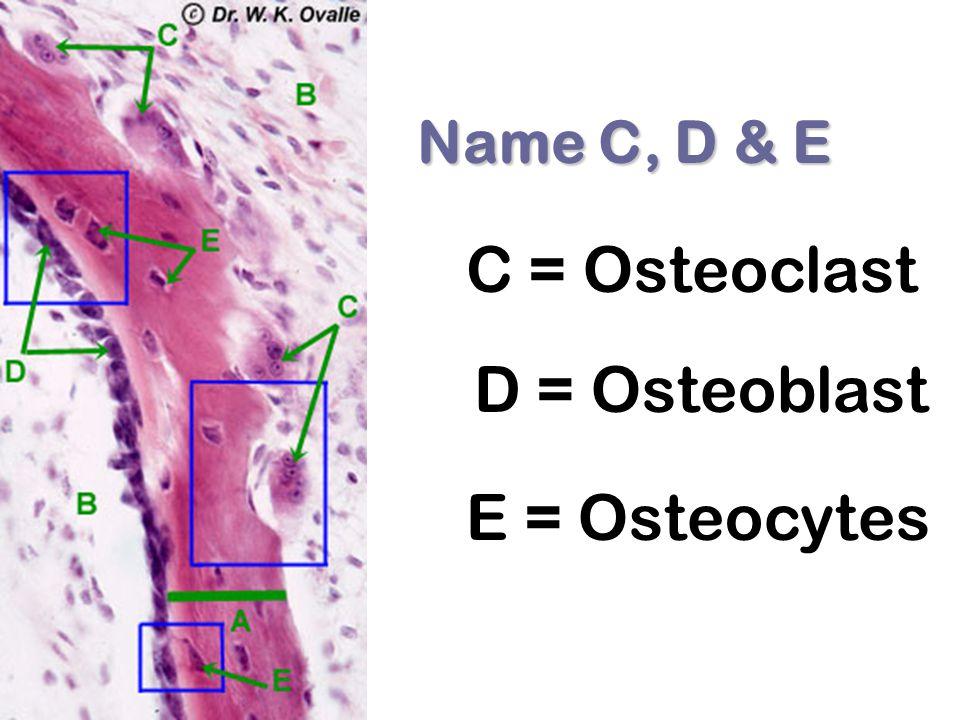 Name C, D & E D = Osteoblast E = Osteocytes C = Osteoclast