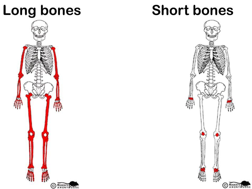 Long bonesShort bones