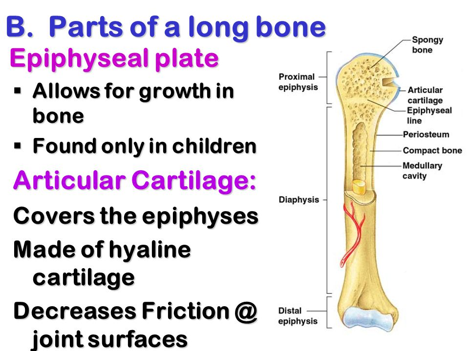 B.Parts of a long bone Epiphyseal plate  Allows for growth in bone  Found only in children Articular Cartilage: Covers the epiphyses Made of hyaline