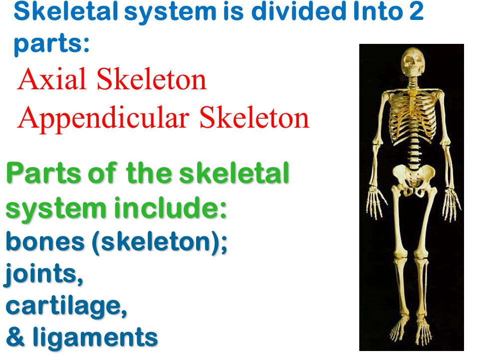 Skeletal system is divided Into 2 parts: A.blood by storing and releasing alkaline salts Parts of the skeletal system include: bones (skeleton); joint