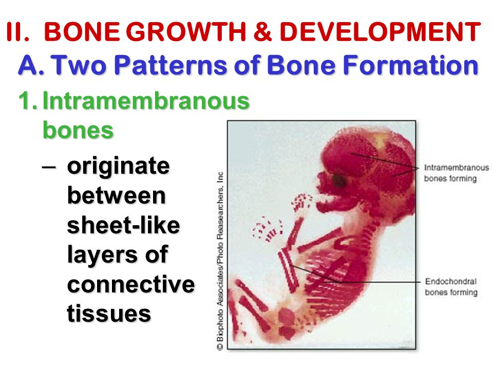 II. BONE GROWTH & DEVELOPMENT A.Two Patterns of Bone Formation 1.Intramembranous bones –originate between sheet-like layers of connective tissues