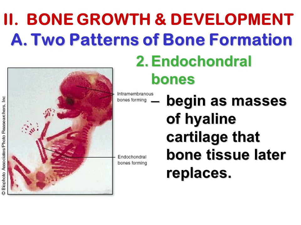 II. BONE GROWTH & DEVELOPMENT A.Two Patterns of Bone Formation 2.Endochondral bones –begin as masses of hyaline cartilage that bone tissue later repla