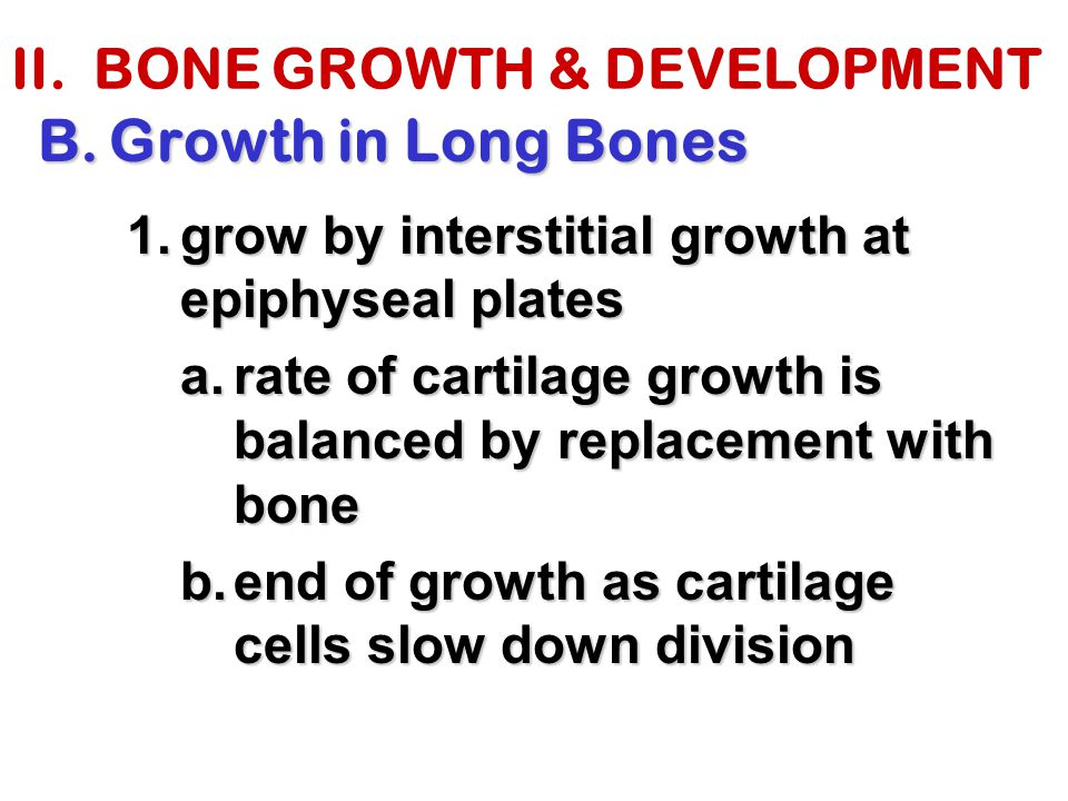 II. BONE GROWTH & DEVELOPMENT B.Growth in Long Bones 1.grow by interstitial growth at epiphyseal plates a.rate of cartilage growth is balanced by repl