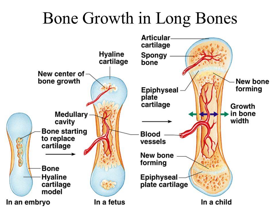 Bone Growth in Long Bones