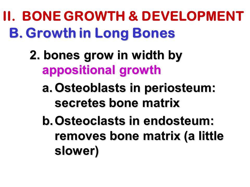 II. BONE GROWTH & DEVELOPMENT B.Growth in Long Bones 2. bones grow in width by appositional growth a.Osteoblasts in periosteum: secretes bone matrix b
