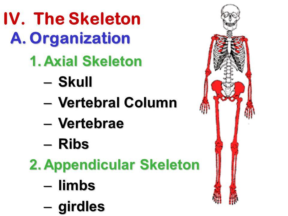 IV. The Skeleton A.Organization 1.Axial Skeleton –Skull –Vertebral Column –Vertebrae –Ribs 2.Appendicular Skeleton –limbs –girdles