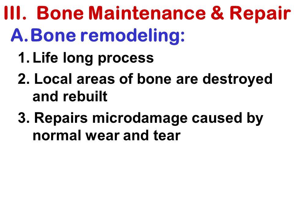III. Bone Maintenance & Repair A.Bone remodeling: 1.Life long process 2. Local areas of bone are destroyed and rebuilt 3. Repairs microdamage caused b