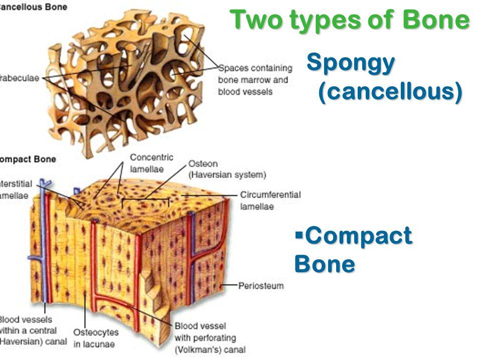 Spongy (cancellous) Spongy (cancellous)  Compact Bone Two types of Bone