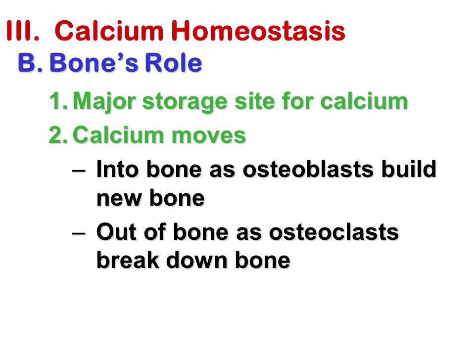 III. Calcium Homeostasis B.Bone's Role 1.Major storage site for calcium 2.Calcium moves –Into bone as osteoblasts build new bone –Out of bone as osteo
