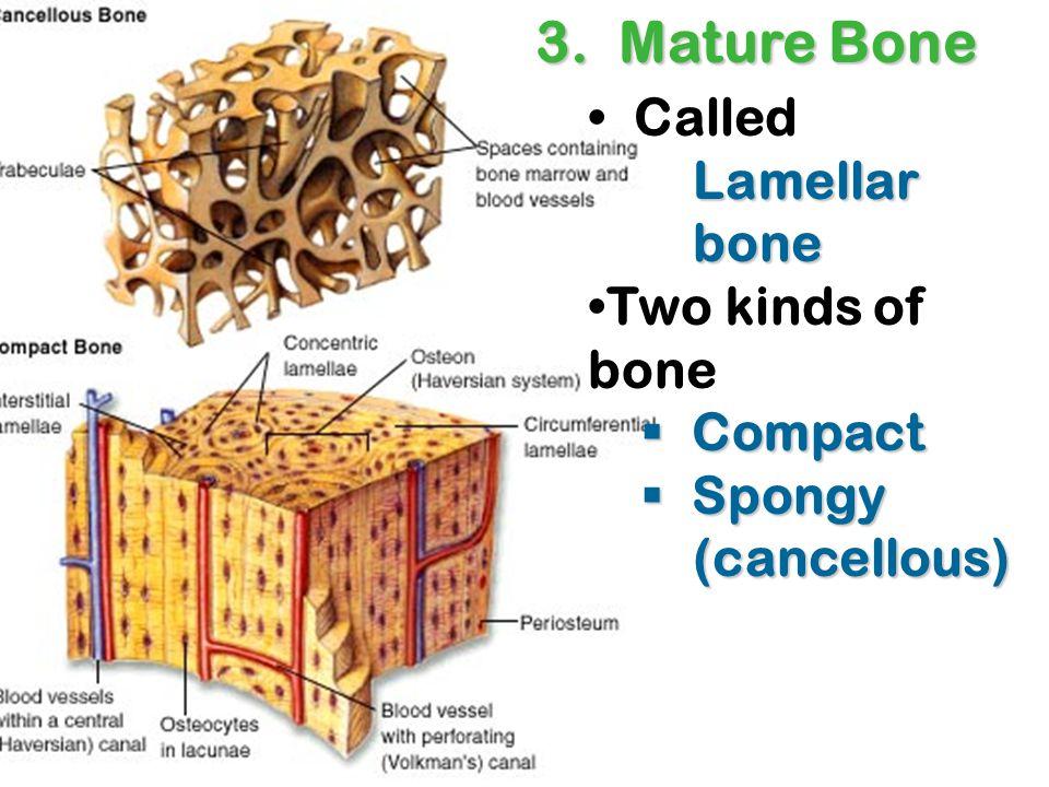 Lamellar bone Called Lamellar bone Two kinds of bone  Compact  Spongy (cancellous) 3. Mature Bone
