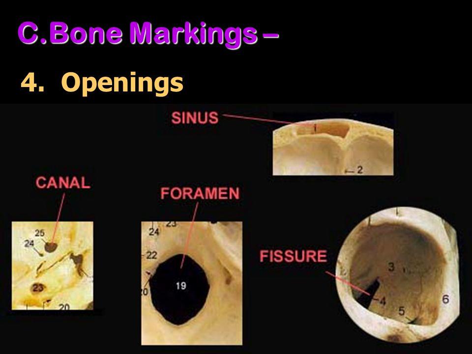 C.Bone Markings – 4. Openings