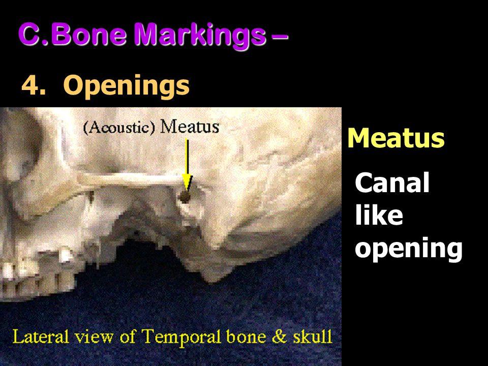 C.Bone Markings – 4. Openings Canal like opening Meatus