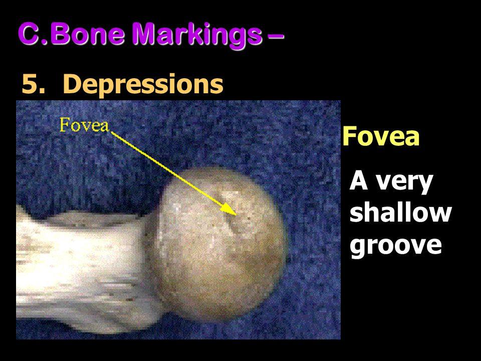 C.Bone Markings – 5. Depressions A very shallow groove Fovea