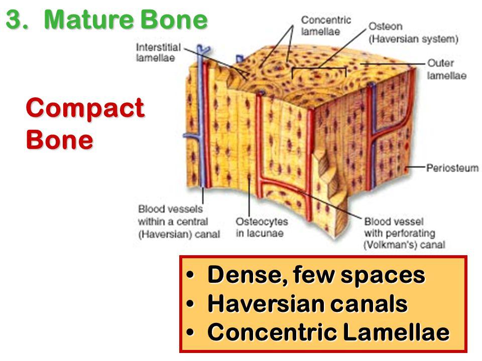 Dense, few spaces Dense, few spaces Haversian canals Haversian canals Concentric Lamellae Concentric Lamellae Compact Bone 3. Mature Bone