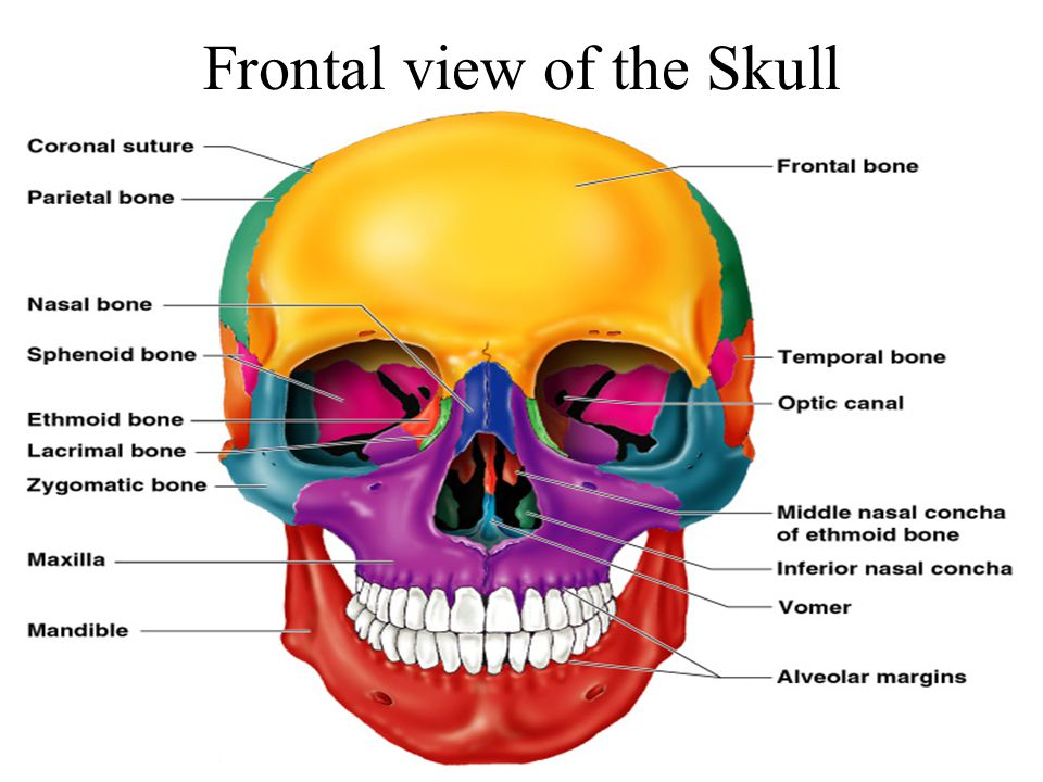 Frontal view of the Skull