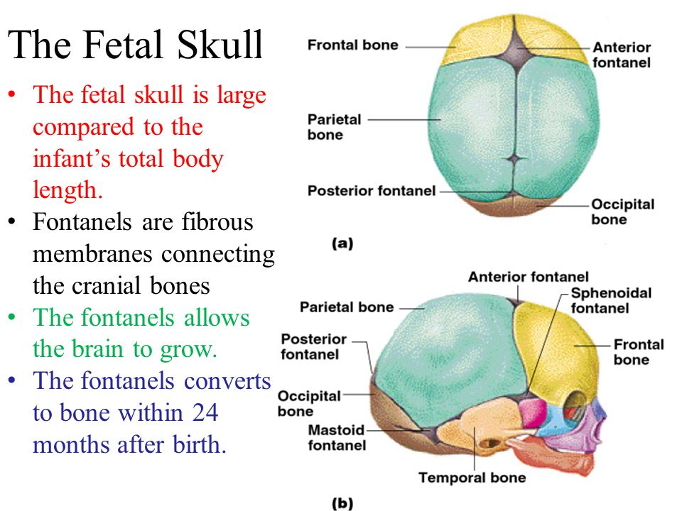 The Fetal Skull The fetal skull is large compared to the infant's total body length. Fontanels are fibrous membranes connecting the cranial bones The
