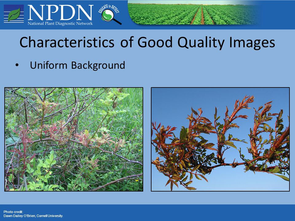 Photo credit: Dawn Dailey O'Brien, Cornell University. Characteristics of Good Quality Images Uniform Background