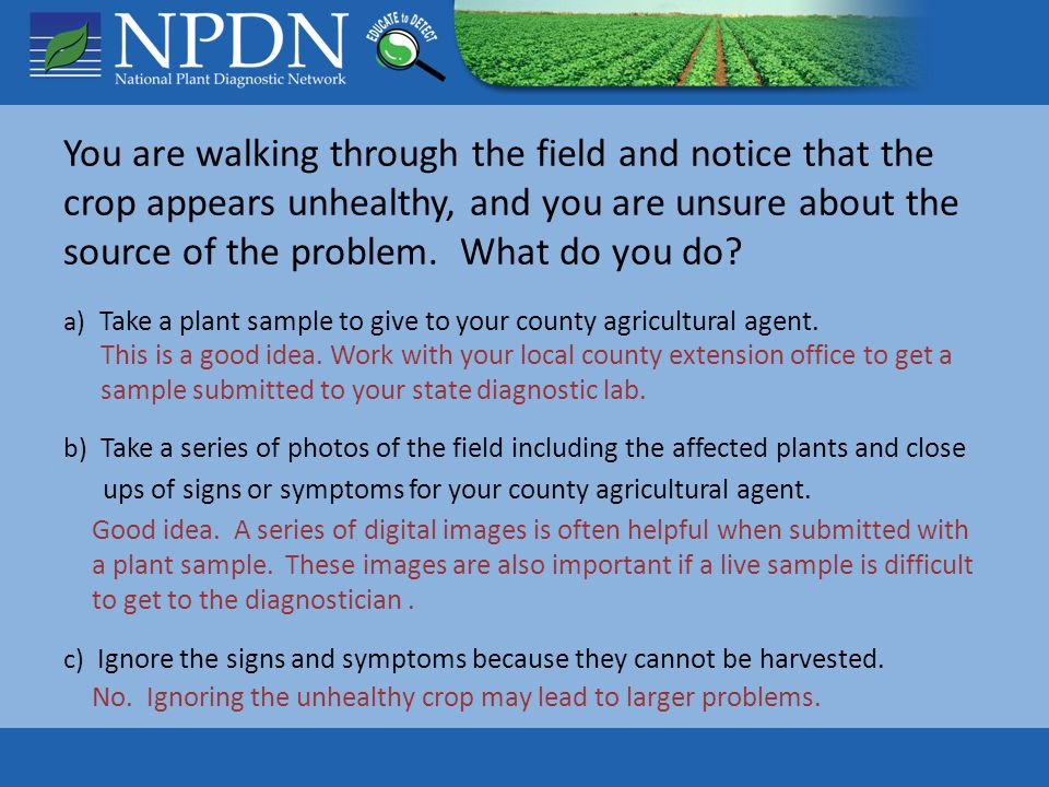 You are walking through the field and notice that the crop appears unhealthy, and you are unsure about the source of the problem. What do you do? a) T